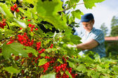 Woman and redcurrant — Stock Photo