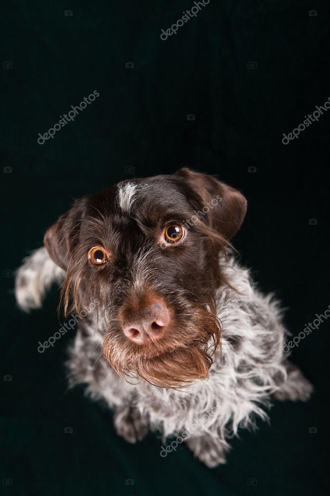 German wirehaired pointer sitting and stearign. — Stock Photo #9310564