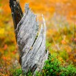 Old stump — Stock Photo #9796601