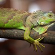 Royalty-Free Stock Photo: Green iguana - (Iguana iguana)
