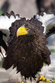 White-tailed Eagle - (Haliaeetus albicilla) — Stock Photo