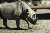 Black rhino - (Diceros bicornis) — Stock Photo