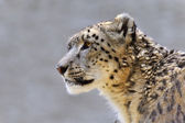 Snow leopard - (Uncia uncia) — Stock Photo