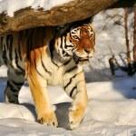 Siberian tiger - (Panthera tigris) — Stock Photo #9229182