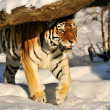Stock Photo: Siberitiger - (Panthertigris)