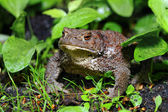Common toad - (Bufo bufo) — Stock Photo
