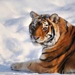Siberian tiger - (Panthera tigris) — Stock Photo #9443845