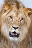 Lion - (Panthera leo) — Stock Photo