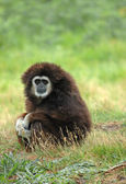 White-handed gibbon - (hylobates lar) — Stock Photo