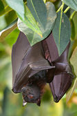Portrait Lyles flying fox - (Pteropus lylei) — Stock Photo