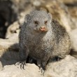 Dwarf Mongoose - (Helogale parvula) - Stock Photo