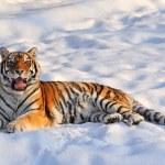 Siberian tiger - (Panthera tigris) — Stock Photo #9845052