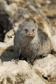 Dwarf Mongoose - (Helogale parvula) — Stock Photo