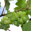 White grape — Lizenzfreies Foto