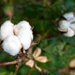 Cotton boll — Stock Photo #10198711