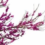 Redbud tree — Stock Photo #10697346