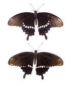 Black butterfly — Stock Photo