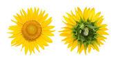 Sunflowers isolated — Stock Photo