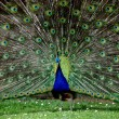 The splendor of the peacock — Stock Photo