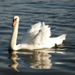 Beautiful white swan — Stock Photo #9685267