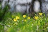 Buttercup meadows in the garden — Stock Photo