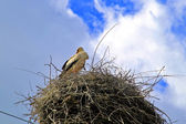Stork in a nest — Stock Photo