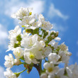 Cherry Blossom and clear blue sky — Stock Photo