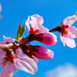Apricot blossoms against the blue sky — Stock Photo #10032351