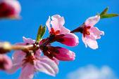 Apricot blossoms against the blue sky — Foto de Stock
