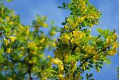 Flowering acacia — Stock Photo