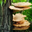 Mushroom on a tree. — Stock Photo