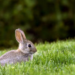 Western Brush Cottontail Rabbit — Stock Photo