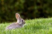 Western Brush Cottontail Rabbit — Stock Photo