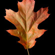 Oak Leaf 1 with clipping path — Stock Photo