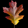 Oak Leaf 2 with clipping path — Stock Photo