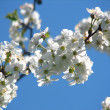 Cherry blossoms on beautiful day — Stock Photo #9335862