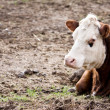 Stock Photo: Cow Relaxing In Pasture