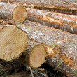 Newly Cut Logs — Stock Photo