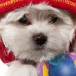Stock Photo: Maltese puppy portrait