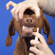 Brushing dog teeth — Stock Photo #10520100