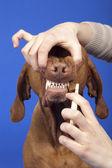 Brushing dog teeth — Stock Photo