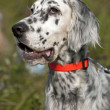 Stock Photo: English setter portrait
