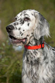 English setter portrait — Stock Photo