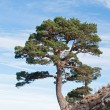 Dangerous tree located on a cliff - Stock Photo