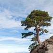 Dangerous tree located on a cliff — Stock Photo