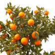 Stock Photo: Beautiful tree with mandarin fruit