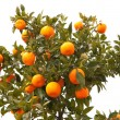 Beautiful tree with mandarin fruit - Stock Photo