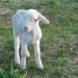 Ewe baby in the field - Stock Photo