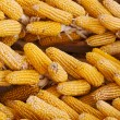 Corn - Stock Photo