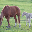 Adorable baby horse with its mother — Stock Photo